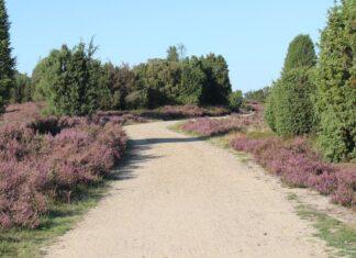 Von August bis September erstrahlt die Lüneburger Heide in einem satten Lila.